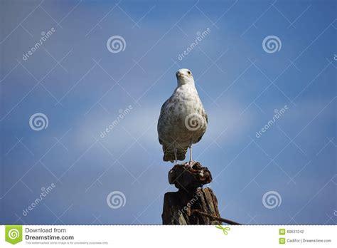 gabbiano reale nordico gabbiano reale nordico fotografia stock immagine di gull