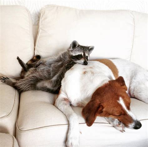 raccoon and adopted pet raccoon thinks she s a and snuggling