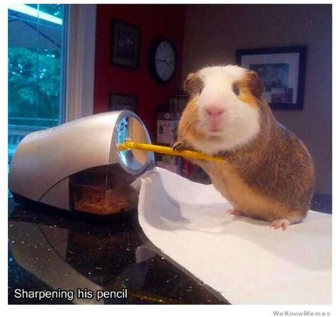 Guinea Pig Meme - stuff my guinea pig does 9 pics weknowmemes