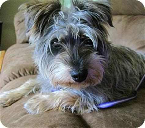 miniature schnauzer yorkie mix kiwi adopted oak creek wi schnauzer miniature yorkie terrier mix