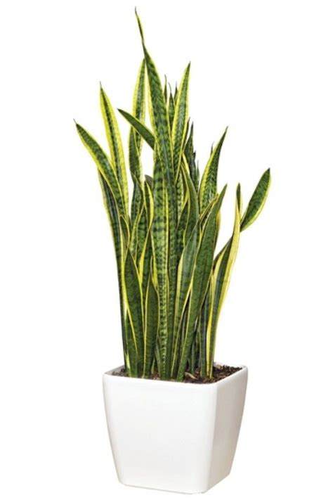 Snake Plant Light by White Square Planter In S Tongue Or Snake