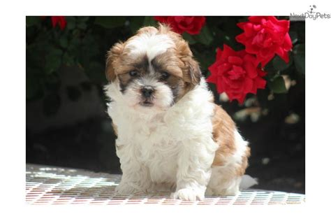 shih poo puppies for sale shih poo shihpoo puppies for sale puppy breeders breeds picture
