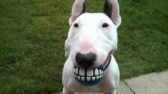 10 charming facts about bull terriers 3milliondogs