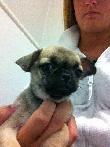 chihuahua mix pug baby pug chihuahua mix the best of both worlds pugs