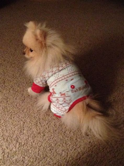 pomeranian clothes pomeranian clothes pomeranian information breeds picture