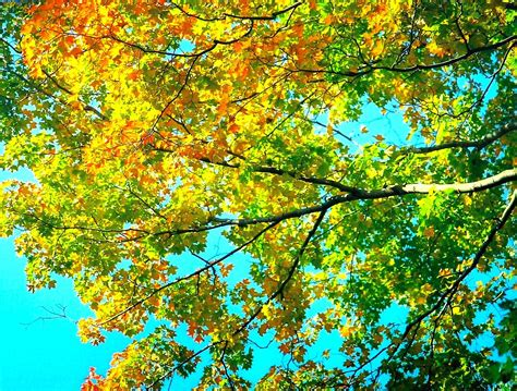 maple tree in early file maple trees turning color autumn jpg wikimedia commons