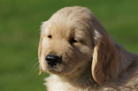 golden retriever puppies for sale in illinois golden retriever puppies for sale near quincy il