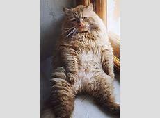 Si hay algo mejor que un gato, es un gato ENORME y gordito Fluffiest Kittens In The World