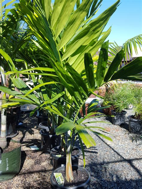 solitaire palm palms  cycads plants ross evans