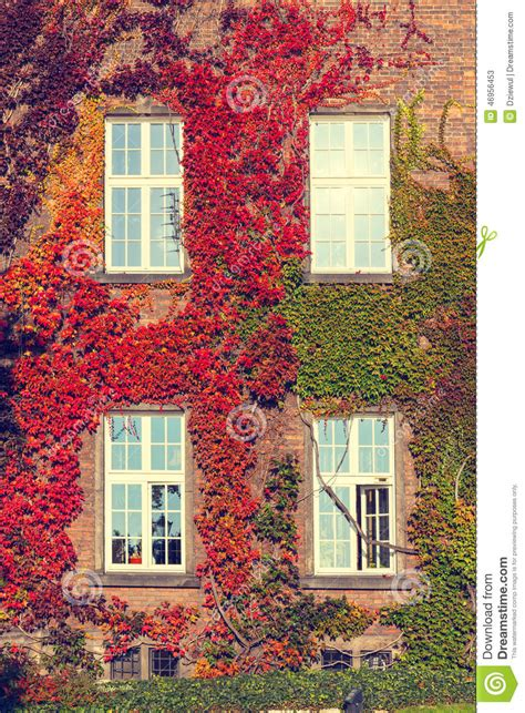 ivy house climbing vines of ivy on a house stock photo image 46956453