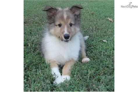 akc sheltie puppies for sale meet a shetland sheepdog sheltie puppy for sale for 600 akc autumn s boy 1