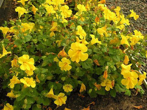 mimulus fiore di bach mimulus planter et cultiver ooreka