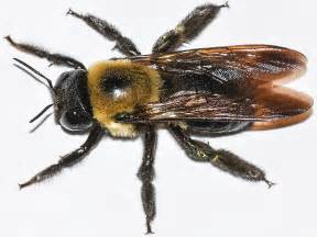 how to get rid of carpenter bees pest info photos