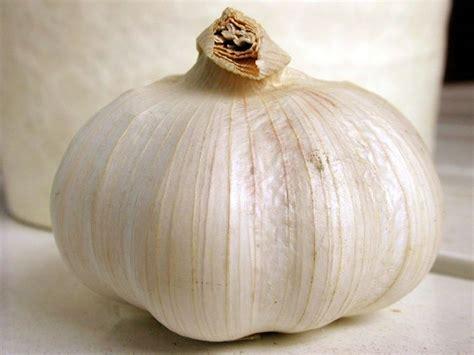 come coltivare l aglio in vaso coltivazione aglio aromatiche come coltivare l aglio