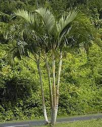 Tanaman Palem Komodoria Pohon Palem Komodoria Tanaman Bisa Indoor jenis jenis pohon palem palm macam macam pohon palm