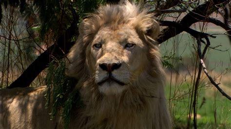 white lion film italiano white lion 2010 az movies