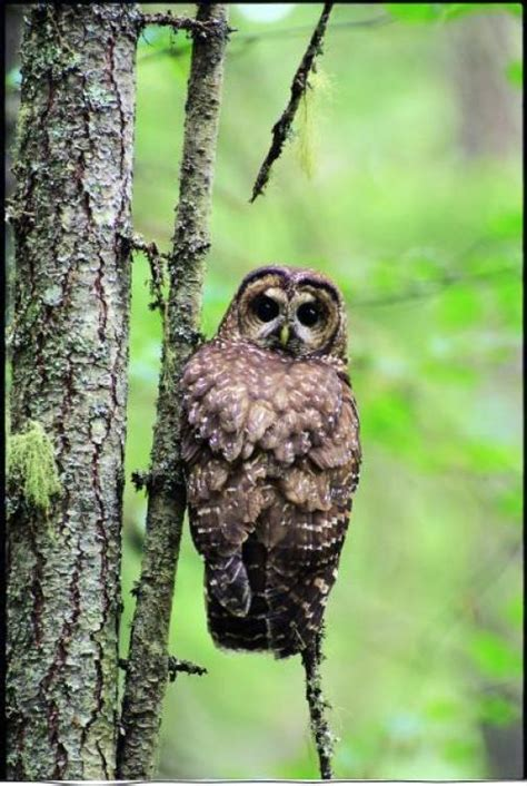 write wild protect spotted owls wilderness committee