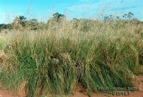 Panci Infusa factsheet lovegrass