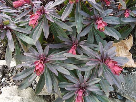 purple wood spurge how to grow and care for spurge plants euphorbia amygdaloides garden