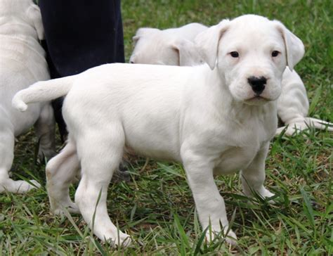 dogo argentino puppy price dogo argentino puppies for sale
