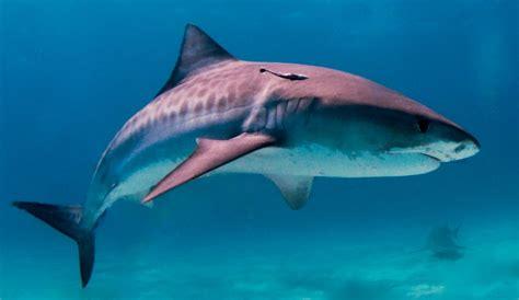 imagenes sorprendentes tiburones evoluci 243 n de los tiburones