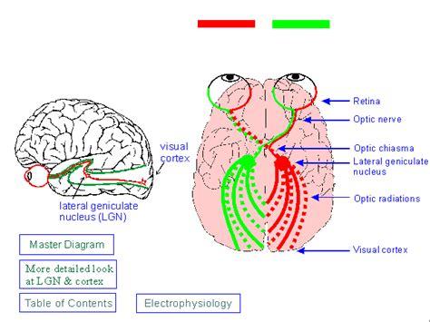 visual cortex diagram visual pathway in the brain