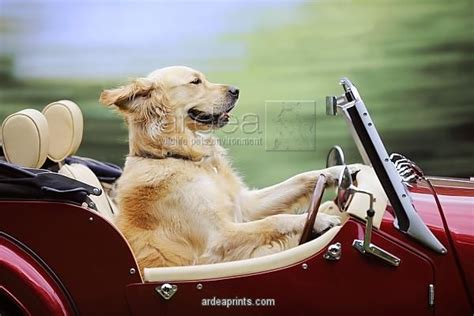 golden retriever driving jd 21318 golden retriever driving car jd 21318