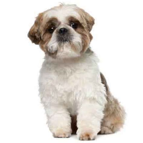 puppy haircut 7 shih tzu haircuts petcarerx