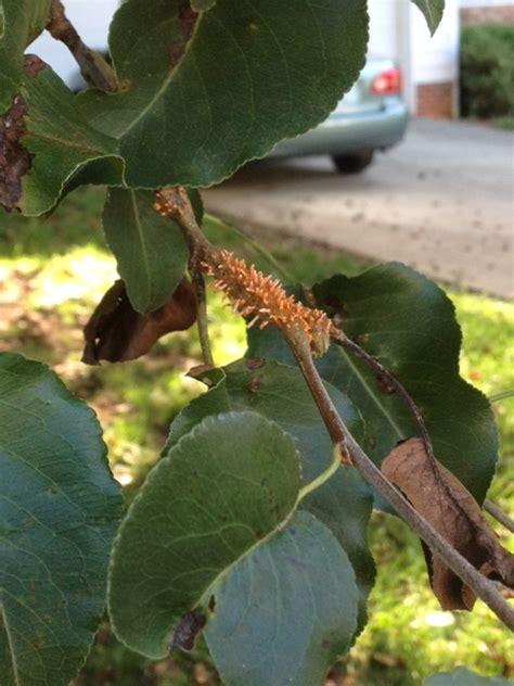 pear tree diseases diseases of bradford pear durham extension master gardeners