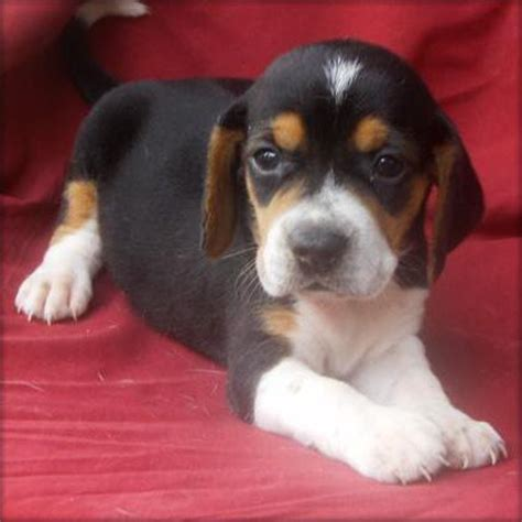 teacup beagle puppies for sale teacup beagles puppies for free breeds picture