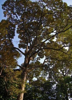 durio zibethinus  tropical plants