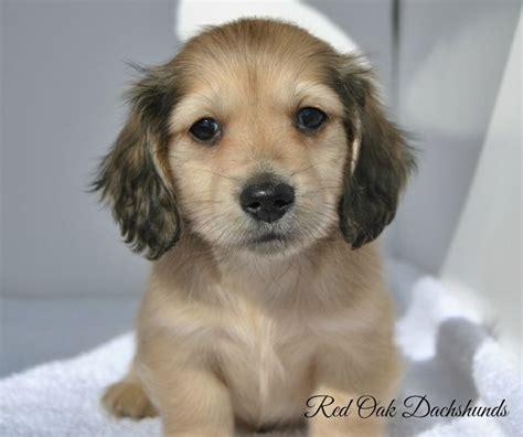 half golden retriever half wiener for sale dachshund puppies for sale oak dachshunds puppies and other pets
