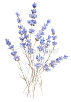 watercolor tattoo lavender 1000 images about aquarelles fleurs on