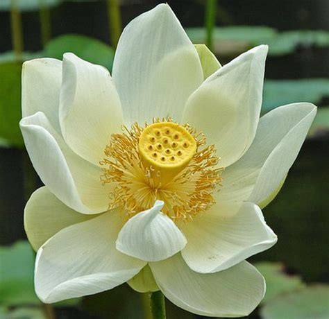 lotus flower meaning and symbolisms