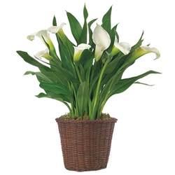 white calla lily plant calla lily bulb arrangement