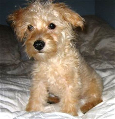 poodle terrier mix puppies poodle terrier mix puppies photo happy heaven