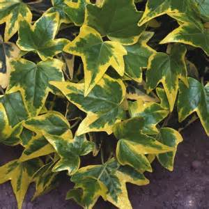Flowering Bushes For Partial Sun - hedera helix gold child ivy plant plants plus online store
