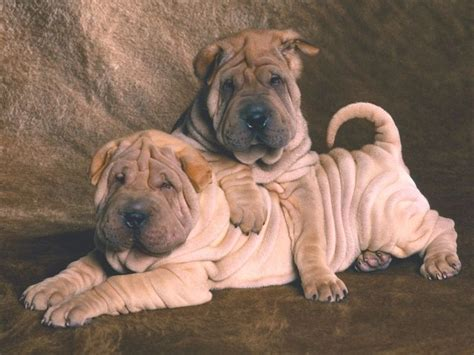 wrinkle puppy wrinkled dogs wrinkles