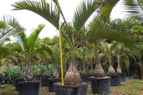 Bibit Tanaman Palem Botol jual jual pohon palem botol cv pohon hias