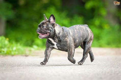 french bulldog dog breed information buying advice