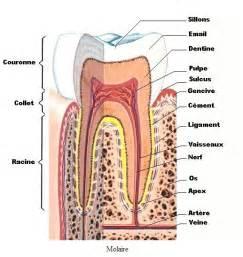 cavit 233 pulpaire de la dent canal de la racine de la dent