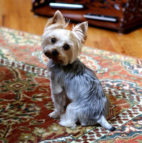 at what age is a yorkie grown teacup yorkie information treehousepuppies
