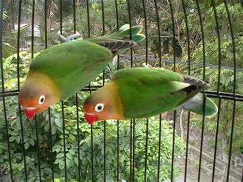 Wp Lovebird Bertelur Breding Obat Burung prospektif versi agrobur murai batu cucakrowo kenari dan lovebird warna klub burung