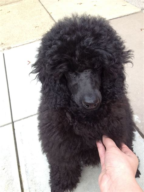 miniature poodle puppies for sale black miniature poodle puppies for sale in bolton bolton greater manchester
