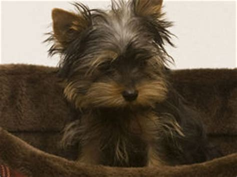 yorkie coughing pets my terrier has a cough express yourself comment express co uk