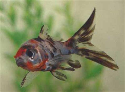 can dogs eat goldfish types of goldfish