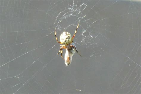 Garden Spider Belly Identify A Spider With White Spots Striped Legs Yellow