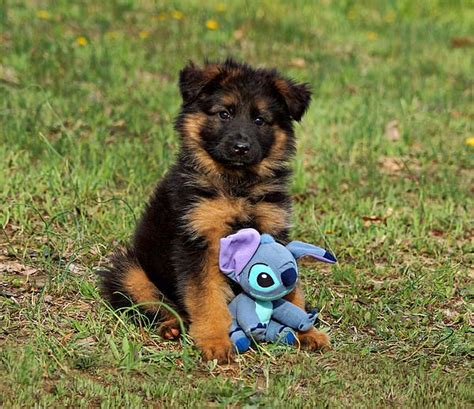 german shepherd puppy toys german shepherd puppy and dogs dogs and more dogs pintere