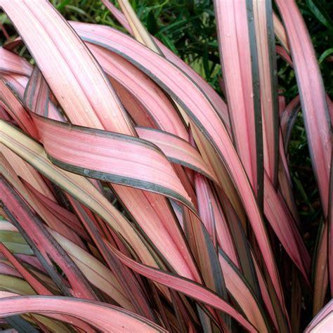 phormium rainbow maiden  zealand flax dobbies