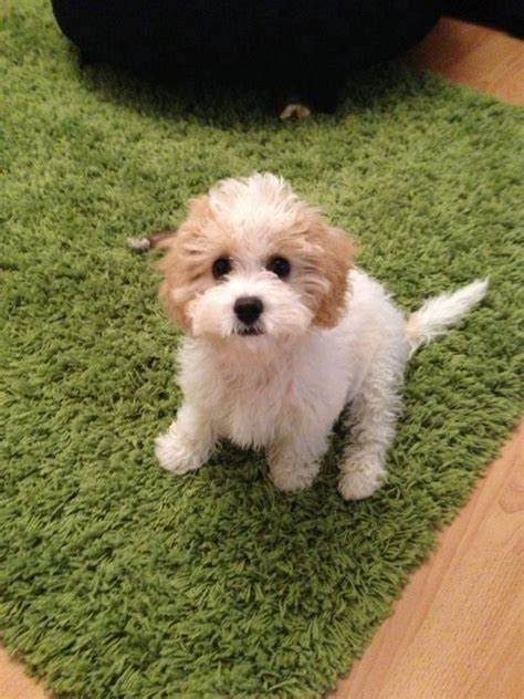 non allergic dogs cavachon pups f1 hybrid non allergic shedding evesham worcestershire pets4homes